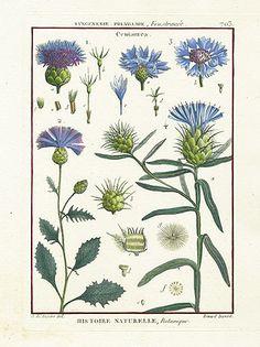 Lamarck Botanical Prints, Histoire Naturelle 1790s