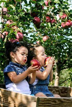 Äpfel frisch vom Baum gepflückt und ...