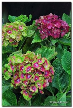 cc Pistachio Hydrangea - Be on the lookout for the bl...