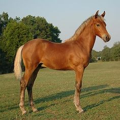 Silver (bay dapple) - Confirmed silver dapple gene; heterozygous for black (Ee) & agouti (Aa); born to a silver dapple mare - homozygous for black; his mane is gunmetal gray-brown, not black (if he was bay wo silver gene); Black areas on a bay foal- mane, tail, eyelashes and eartips- are diluted by silver gene; His hocks and knees, which would be a silvery gray if he were bay, are instead pale chocolate bc the darker hair has been diluted by the silver gene Pictured is Unconventional