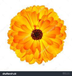 stock-photo-one-blossoming-orange-pot-marigold-flower-beautiful-calendula-officinalis-isolated-on-white-62294848.jpg (1500×1600)