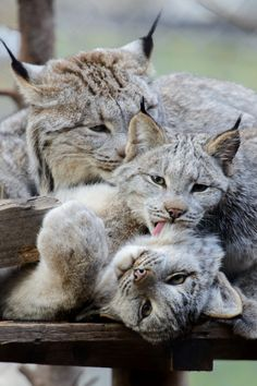 Canadian Lynx cleaning time  (by Eric Kilby)