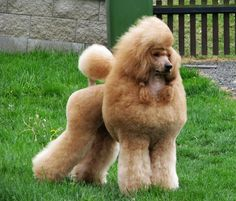 red poodle | The Red Poodle Thread-bond.jpg
