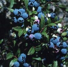 How to Grow Blueberry Bushes Under Pines