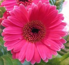 Gerbera Daisy - My favorite Flowers because they're so happy!