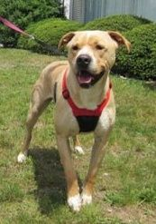 Boxer mixes have a special place in my heart    Champ is an adoptable Pit Bull Terrier Dog in Thomasville, NC. Champ is about 3 years old and would make a great addition to any family. He'd be the perfect dog for a first-time pit bull mix owner. He...