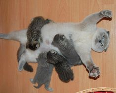 Adorable Mama Cats With Their Baby Kittens