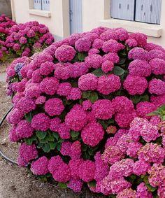 Hydrangea ´Masja´ Blooming Flowers, All Flowers, Amazing Flowers, Beautiful Flowers, Hortensia Hydrangea, Hydrangea Garden, Hydrangea Flower, Hydrangea Landscaping, Front Garden Landscape