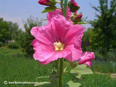 Google Image Result for http://www.flowerspictures.org/image/flowers/hollyhocks/thumbs/a-hollyhock-flower.jpg
