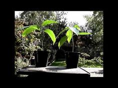 How to Grow Bonsai Mango Trees From Seeds Part 3 How To Grow Bonsai, Mango Tree, Bonsai Plants, Seeds, Vegetables, Videos, Youtube, Lawn And Garden, Bonsai