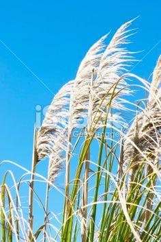 'Toitoi' or 'Toetoe' Grass Royalty Free Stock Photo Fantasy Landscape, Landscape Art, Kiwiana, Christmas Table Decorations, Driftwood Art, Art Reference, New Zealand, Grass, Garden Ideas