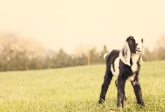 goat goat goat goat goat