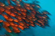 Red fish Beautiful Tropical Fish, Underwater Creatures, Reef Aquarium, Soft Corals, Red Fish, Killer Whales, Different Textures, Ocean Life, Marine Life