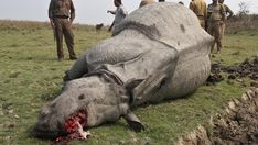 Dansk-vietnamesisk studie afslører nye årsager til, at truede næsehorn bliver skudt.