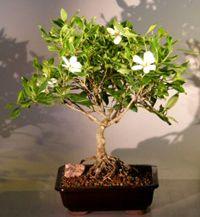 Want to grow: a gardenia bonsai tree, indoors! So gorgeous!