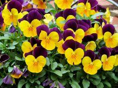 Wiosenne kwiaty na Hydroboxie - bratki. #hydrobox #hydroboxpl #kwiaty #kwiatydoniczkowe #ideas #bratki #flowers #flower #diy #ideas #wiosna #wiosenneinspiracje