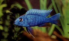 our african cichlids