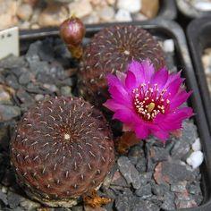 Sulcorebutia rauschii cv. Violacidermis
