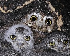 adult and owlets in nest