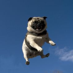 #Pug Immediately Regrets Buying Trampoline