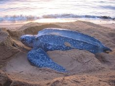 I worked with the conservation of Leatherback Sea Turtles during my studies at Universidad de Costa Rica. The turtles, people, and the country of Costa Rica will always have a place in my heart.