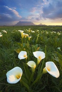 Arum lilies - the natural winter flower landscape around the Cape between the rainy season and spring - Table Mountain visible on horison. Table Mountain Cape Town, South African Flowers, Landscape Photography, Nature Photography, Le Cap, Cape Town South Africa, Out Of Africa, All Nature, Most Beautiful Cities