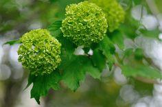 ビバーナム スノーボール  Snowball still green | Flickr - Photo Sharing!
