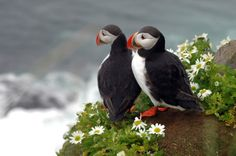 roffe - the viking from the north: Puffin population under pressure