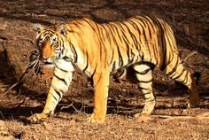 Tigers once ranged widely across Asia, from Turkey in the west to the eastern coast of Russia. Over the past 100 years they have lost over 93% of their historic range.  See the IUCN site for an up-to-date range map of the tiger: http://maps.iucnredlist.org/map.html?id=15955  Learn more about tigers: http://eol.org/pages/328674/details  Image of tiger in Ranthambhore National Park, Rajasthan, India by Bjørn Christian Tørrissen (cc-by-sa)