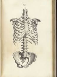 Image result for rib cage anatomy diagram