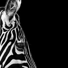 Amazing Black And White Animal Photography By Lukas Holas - Breathtaking black and white animal portraits by lukas holas