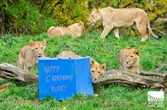 Woodland Park Zoo's lion cubs celebrated their first birthday November 8, 2013. Keepers surprised them with birthday presents of meat, toys and frozen treats.