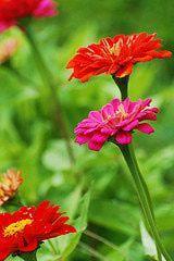 Easiest Flowers to Grow from Seed:  Bachelor's button  Calendula  Columbine  Cosmos  Four O'Clocks  Marigolds  Morning glories  Moss rose  Nasturtiums  Shasta daisies  Sunflowers  Sweet alyssum  Sweet peas  Zinnias