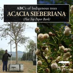 Meet the Acacia sieberiana or Flat Top Paper Bark! This magnificent indigenous tree is fast growing and reaches a medium to large size with sufficient space to grow! With a widely-spreading flat crown and its unique papery bark, this tree is both an attractive and interesting addition to almost any landscape.