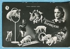 S9570 Postcard Bragucraba Baprkoehe Circus Performer with Trained Pigs | eBay