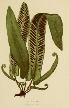 Illustrations of Ferns taken from 'British Ferns and their Varieties' by Charles…