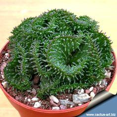 Euphorbia pugniformis forma cristata - LOVE this!!