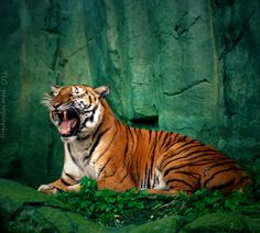 For the tiger lovers (via Tiger call by ~TlCphotography730 on...
