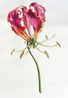 I have to say goodbye to my Gloriosa Lily this week. It is off to the International Exhibition of Botanical Art & Illustration at the Hunt. Illustration Blume, Watercolor Illustration, Botanical Flowers, Botanical Prints, Art Floral, Watercolor Flowers, Watercolor Art, Lilies Drawing, Botanical Drawings