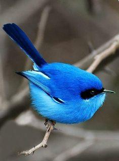 The blue fairy wren of Australia. Tiny little bird of great color.