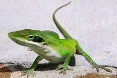 ¿Cómo le crece la cola a las lagartijas cuando la pierden? ¡Misterio resuelto! | Informe21.com