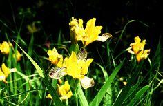 Tarka nőszirom (Iris variegata, Iridaceae) (Turcsányi Gábor felvétele)
