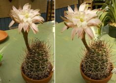 Blooming! This is a happy Cactus!