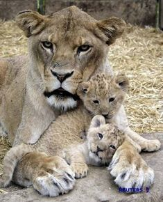 She looks like motherhood has just taken it right out of her...lol #BigCatFamily