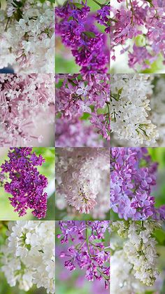 Lilacs... love!