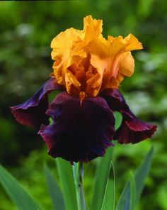 iris' symbolizes eloquence, Purple iris is symbolic of wisdom and compliments. Blue iris symbolizes faith and hope. Yellow iris symbolizes passion while white iris symbolizes purity. Iris Garden, Garden Plants, Amazing Flowers, Beautiful Flowers, Bearded Iris, Bearded Men, Plantation, Belleza Natural, Flower Shops
