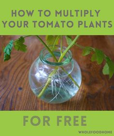 Grow Organic Tomatoes How to multiply your tomato plants - How To Multiply your tomato plants - A quick and easy way to be a frugal gardener. Growing Tomatoes Indoors, Tips For Growing Tomatoes, Growing Tomato Plants, Growing Tomatoes In Containers, Growing Herbs, Grow Tomatoes, Baby Tomatoes, Cherry Tomatoes, Dried Tomatoes