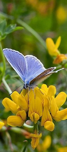 Blue Butterfly - Colors: Blue, Yellow, Green