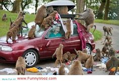 nice Monkeys Attack On The Car - funny animal pictures