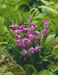 Chinese Ground Orchid – Bletilla Striata. I would love to have these........